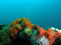 Coral reef in south Florida. This coral reef image was taken at Barracuda Reef off the coast of Dania Beach, Florida Stock Image