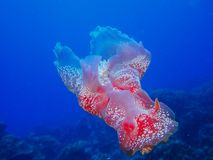 Coral reef Spanish Dancer nudibranch Stock Photography