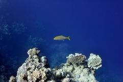 Coral reef and sparidae fish at the Red Sea Royalty Free Stock Photography