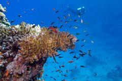 Coral reef with stony coral and diver at the bottom of tropical sea Stock Images
