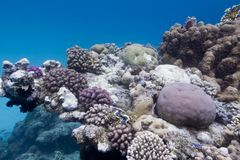 Coral reef with stony corals at the bottom of red sea on blue water background Stock Photo