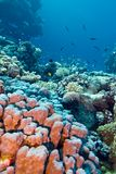 Coral reef with stony corals at the bottom of tropical sea Royalty Free Stock Photos