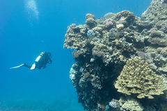 Coral reef with stony corals and divers at the bottom of tropical sea. On blue water background Royalty Free Stock Image