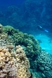 Coral reef with stony corals and divers at the bottom of tropical sea on blue water background Royalty Free Stock Image