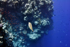 Coral reef and surgeon (?) fish at the Red Sea Stock Photos