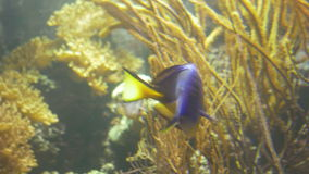 Coral Reef Surgeonfish. Energetic swimming of a tropical coral reef surgeonfish. Some of the most popular fishes in the marine aquarium hobby are the stock video