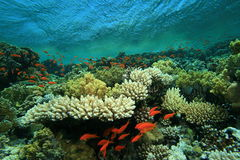Coral Reef and Tropical Fish Royalty Free Stock Photos