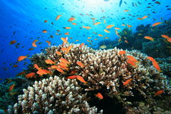 Coral Reef and Tropical Fish Stock Photos