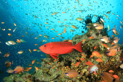 Coral Reef and Tropical Fish Stock Image