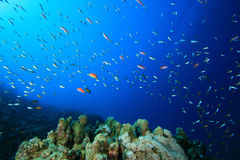 Coral Reef and Tropical Fish Royalty Free Stock Photography