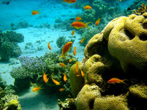 Coral reef and tropical fish Stock Photography
