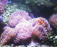 Coral Reef and Tropical Fish in aquarium. Stock Images