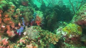 Coral reef and tropical fish. Bali,Indonesia. Lionfish on coral reef. Dive, underwater world, corals and tropical fish. Bali,Indonesia. Diving and snorkeling in stock video