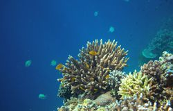 Coral reef with tropical fish in blue sea. Undersea landscape Stock Images