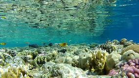 Coral reef, tropical fish, depth 1 m. the clear water of the red sea. Underwater coral reef red sea. The corals and fish. Transparent and warm water. Underwater stock footage