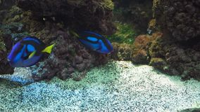 Coral reef and tropical fish. Fish and coral reef. Tropical fish on a coral reef. Wonderful and beautiful underwater world with corals and tropical fish stock video footage