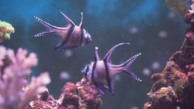 Coral reef and tropical fish. Fish and coral reef. Tropical fish on a coral reef. Wonderful and beautiful underwater world with corals and tropical fish stock video