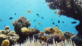 Coral reef and tropical fish. Leyte, Philippines.