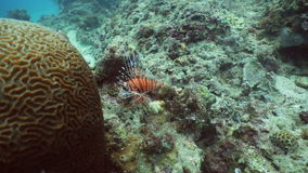 Coral reef and tropical fish, lionfish. Philippines stock footage