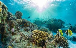 Coral reef with tropical fish in the Maldives Royalty Free Stock Photo