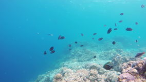 Coral reef and tropical Fish. Many reef fish in the tropical sea on a coral reef.tropical underwater world.Diving and snorkeling in the tropical sea.Travel stock video