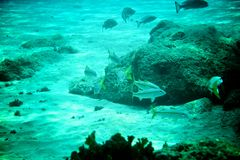 Coral Reef, tropical fish and ocean life in the caribbean sea Stock Photography