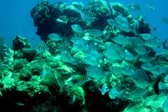 Coral Reef, tropical fish and ocean life in the caribbean sea Royalty Free Stock Photos