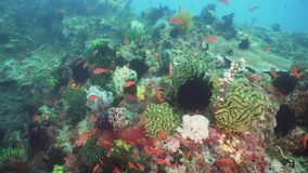 Coral reef and tropical fish. Philippines, Mindoro. Tropical fish on coral reef at diving. Wonderful and beautiful underwater world with corals and tropical stock video