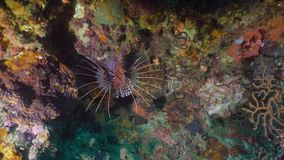 Coral reef and tropical fish. Philippines, Mindoro. Lionfish on coral reef. Dive, underwater world, corals and tropical fish. Philippines, Mindoro. Diving and stock footage