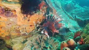 Coral reef and tropical fish. Philippines, Mindoro. Lionfish on coral reef. Dive, underwater world, corals and tropical fish. Philippines, Mindoro. Diving and stock video footage