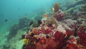 Coral reef and tropical fish. Philippines, Mindoro. Tropical fish on coral reef at diving. Wonderful and beautiful underwater world with corals and tropical stock video footage