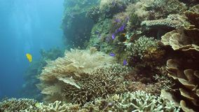 Coral reef and tropical fish.Philippines. Fish and coral reef. Tropical fish on a coral reef. Wonderful and beautiful underwater world with corals and tropical stock video