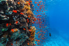 Coral reef and tropical fish in Red Sea Stock Photo