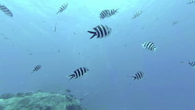 Coral reef and tropical fish at Seychelles. Indian Ocean stock video