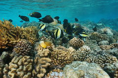 Coral reef with tropical fish shoal Pacific ocean Royalty Free Stock Photo
