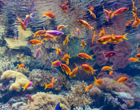 Coral Reef and Tropical Fish in Sunlight Royalty Free Stock Photos