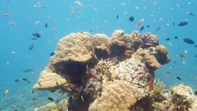 Coral reef and tropical fish underwater. Leyte, Philippines.