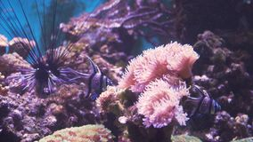 Coral reef and tropical fish. Fish and coral reef. Tropical fish on a coral reef. Wonderful and beautiful underwater world with corals and tropical fish stock footage