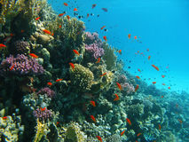 Coral reef and tropical fishes Royalty Free Stock Image