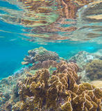 Coral reef in the tropical sea. Yellow and brown coral with coral fishes Royalty Free Stock Photography