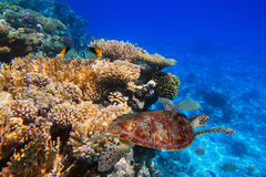 Coral reef of the tropical water Stock Photography