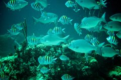 Coral Reef, tropische Fische und Ozeanleben im karibischen Meer Lizenzfreies Stockfoto