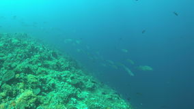 Coral reef with Tunas and plenty fish 4k stock video footage