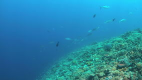Coral reef with Tunas and plenty fish 4k stock video