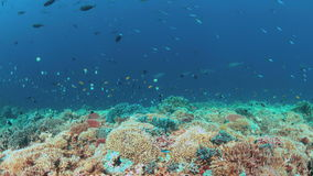 Coral reef with Tunas and plenty fish 4k stock footage