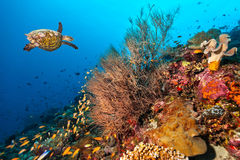 Coral reef with turtle Stock Photography