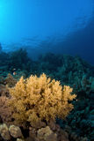 Coral reef under the surface. Coral reef under the water surface Royalty Free Stock Image