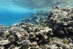 Coral reef under the surface of water in tropical sea,  underwa Stock Photography
