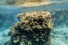 Coral Reef under water of the Red Sea Royalty Free Stock Photography