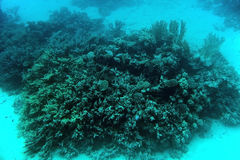 Coral reef underwater. Underwater shot of coral reef, Red Sea, Egypt royalty free stock photography